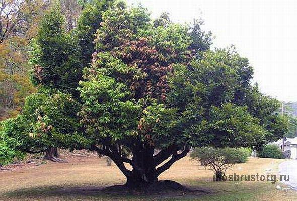 дерево эбеновое фото